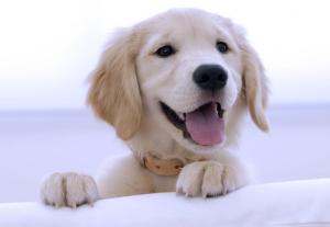 щенок ретр диван