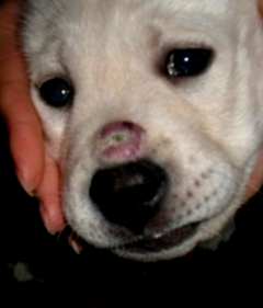 абсцесс у щенка