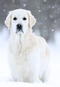 лабрадор на снегу