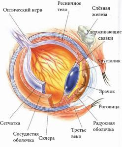 строение глаза лабрадора