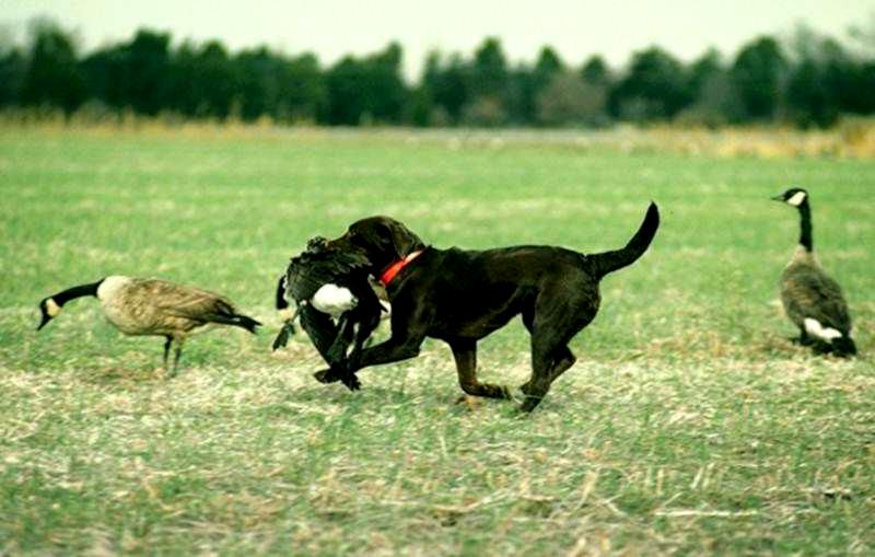 лабр на охоте
