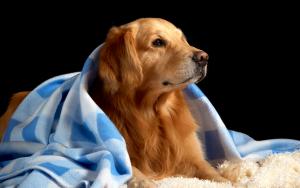лабр под одеялом