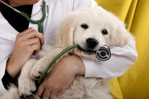лабрадор у врача
