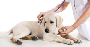 щенок у врача